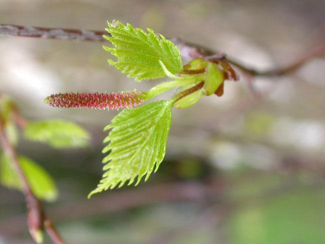 Beech tree bud