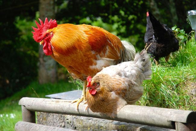 Chicken/Cockerel