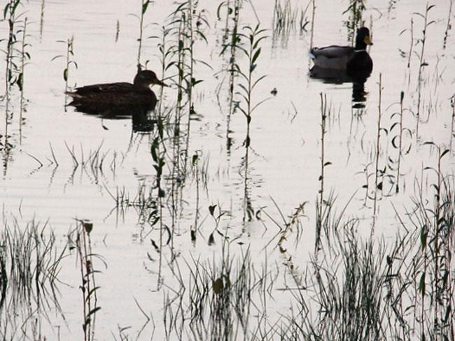 Ducks in grassy pond