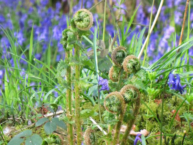 Fern fronds & bluebells